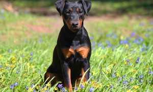 Собака ягдтерьер — описание и стандарт