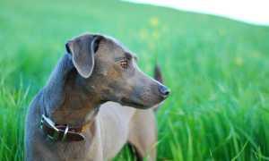 Блю-лейси: официальная собака Техаса