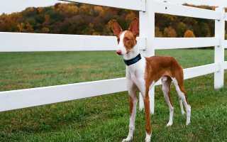 Собака поденко ибиценко: борзая фараонов