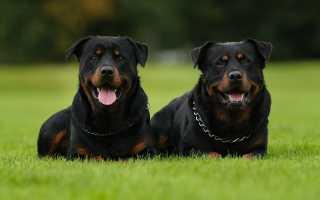 Немецкий ротвейлер: всё о породе собаки и её характер