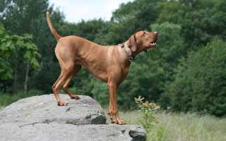 Венгерская легавая порода собак
