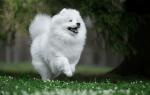 Самоедская лайка — описание породы и характер, как выглядит собака самоед