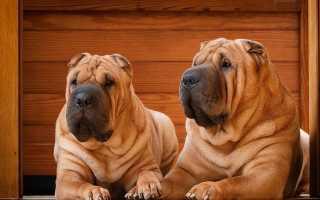 Шарпей плюсы и минусы породы, характеристика собаки