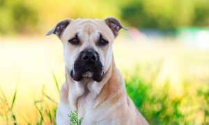 Ка де бо — майорский мастиф, от щенка до взрослой собаки