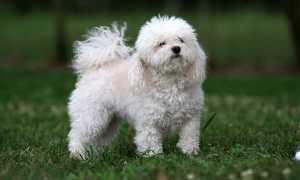 Порода собак болонка: ревнивая жизнерадостная особа и ее разновидности