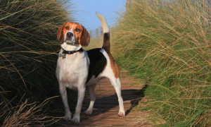 Бигль: обаятельный хитрец, характеристика и описание охотничьей породы