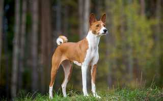 Африканская нелающая собака басенджи и ее особенности