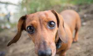 Карликовая такса: между стандартной и кроличьей, отличия, фото и характер собаки