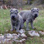 Голубой шарпей пара на природе