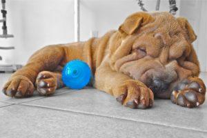 Щенок шарпея спит с синим мячом