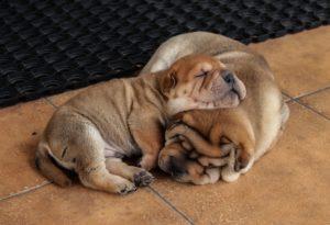 Щенки шарпея спят