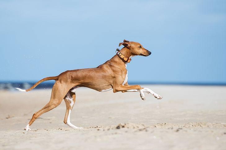 Азавак бежит на пляже