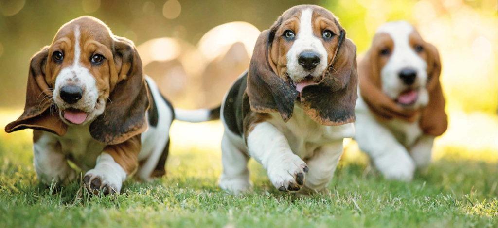 Бассет хаунды собаки