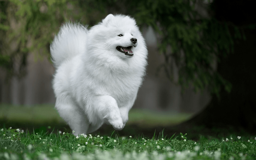 Самоед бежит