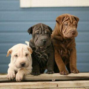 Окрасы шарпеев три собаки