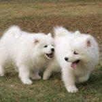 Два щенка самоеда
