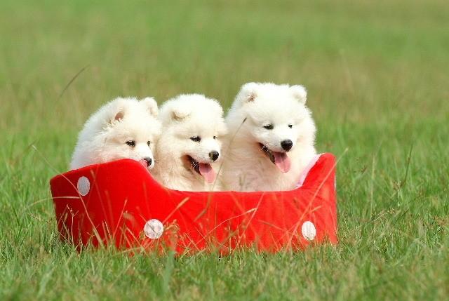 Три щенка самоеда