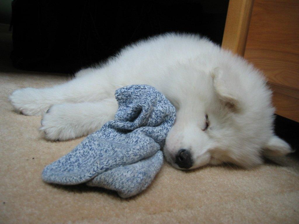 Самоед спит