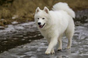 Прогулка собаки самоеда