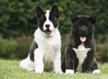 Американская акита два щенка
