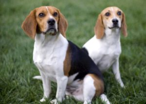 Бигли собаки фото