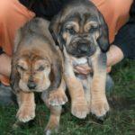 Бладхаунд щенок 2