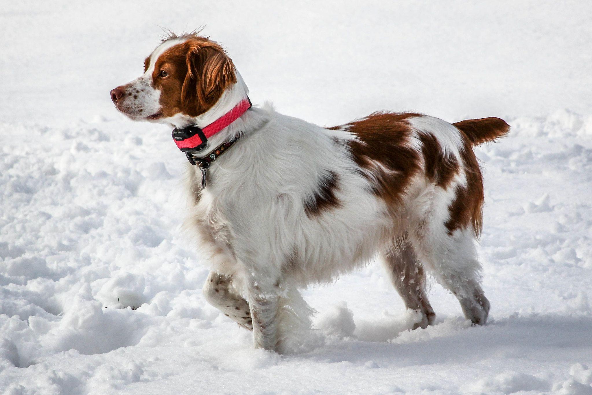 Бретонский эпаньоль на прогулке зимой