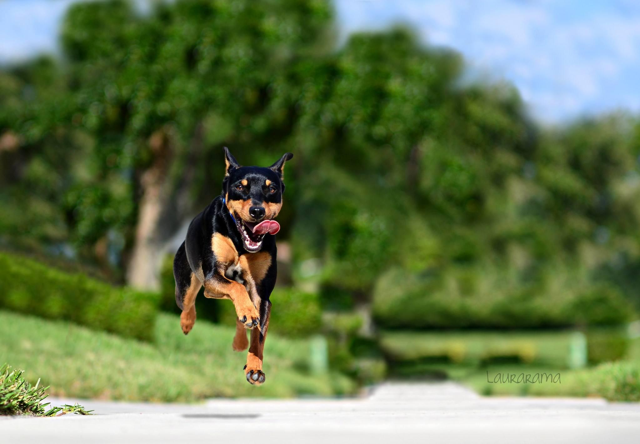 Минипинчер бежит