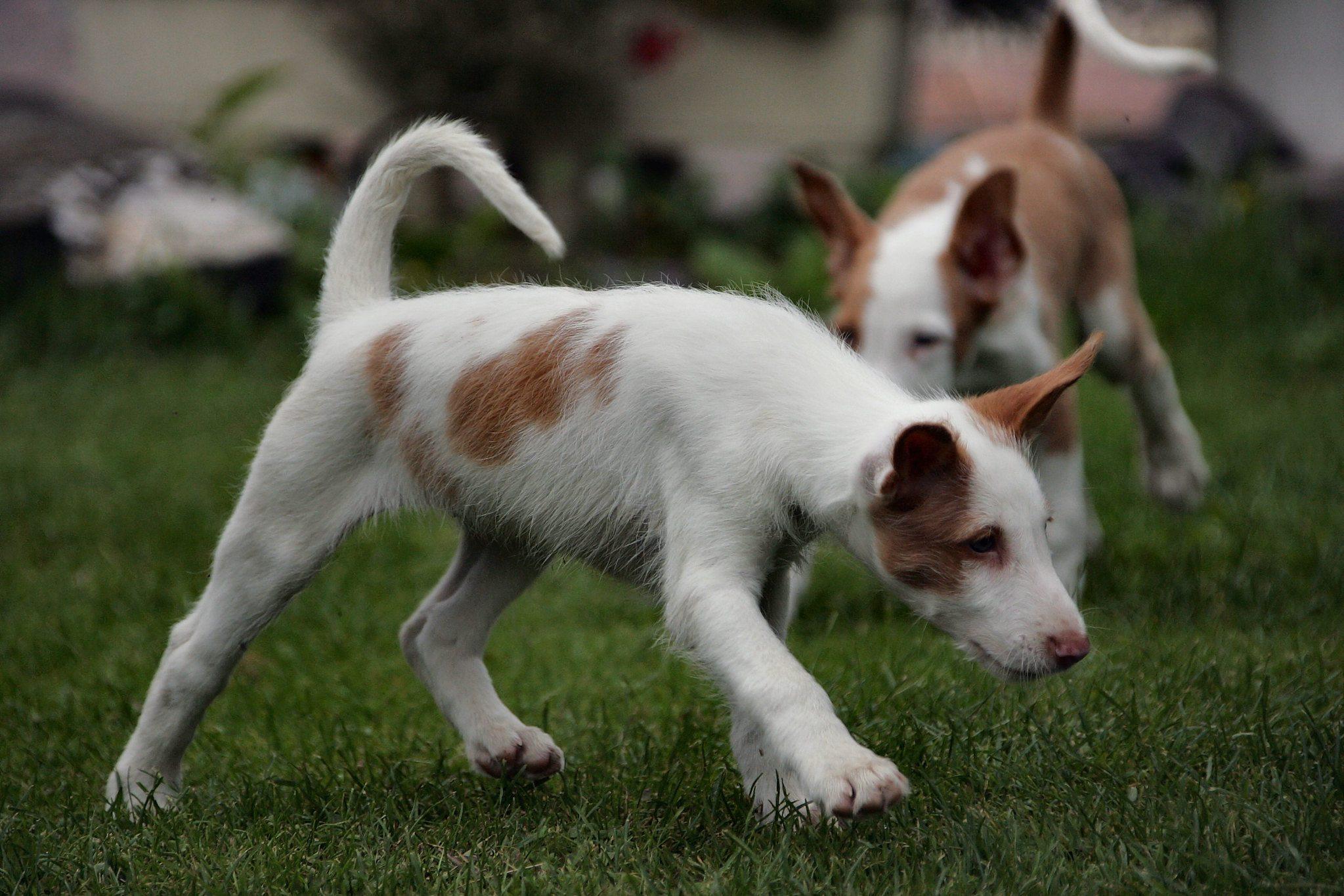 Поденко ибиценко щенки фото