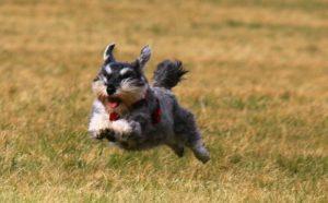 Цвергшнауцер бежит в поле