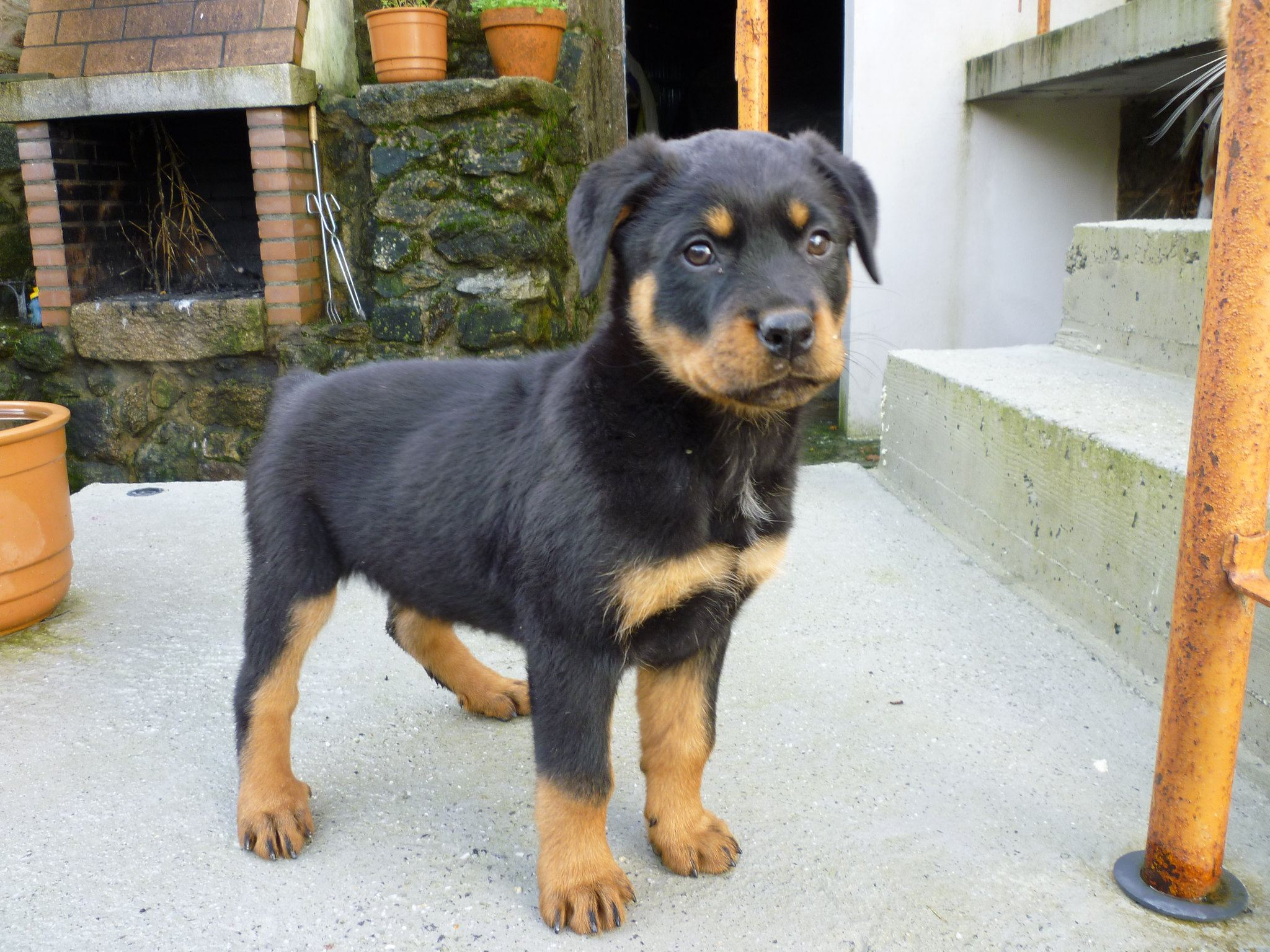Ротвейлер малыш щенок