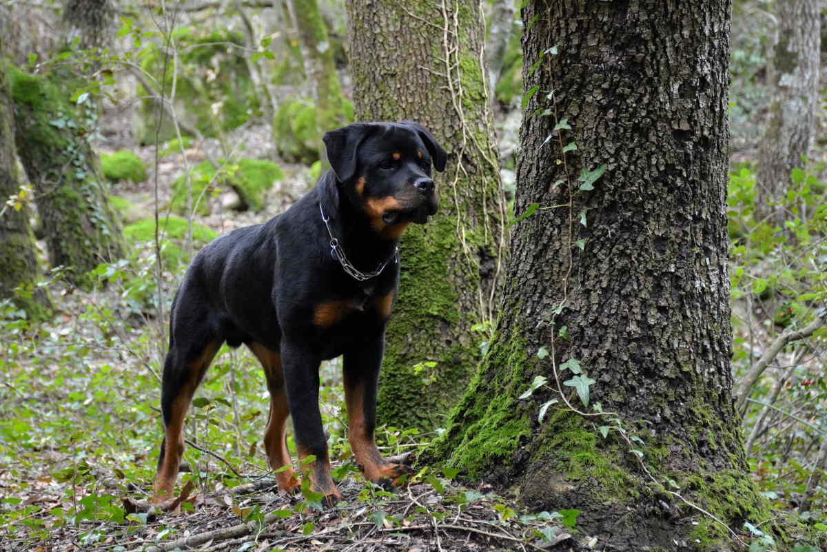 Ротвейлер в лесу
