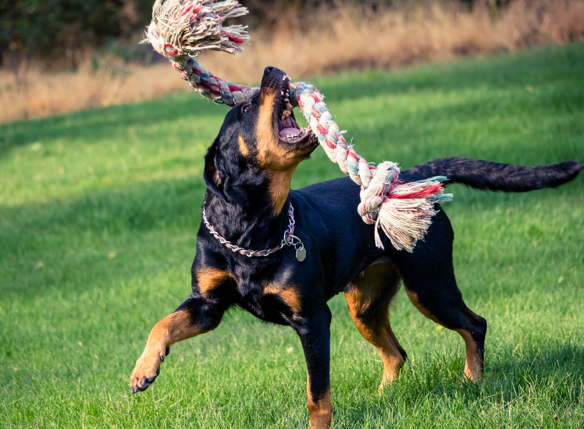 Ротвейлер играет с веревкой