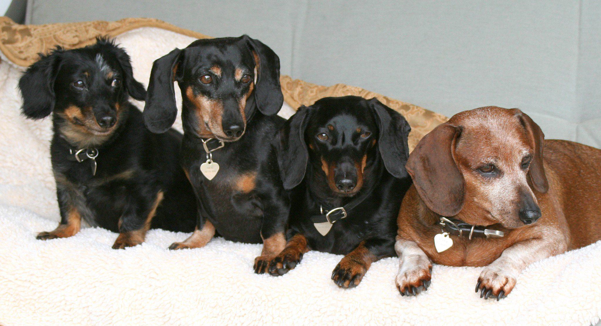 Таксы четыре собаки