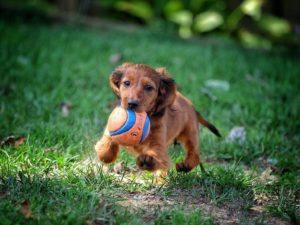 Такса щенок с мячом