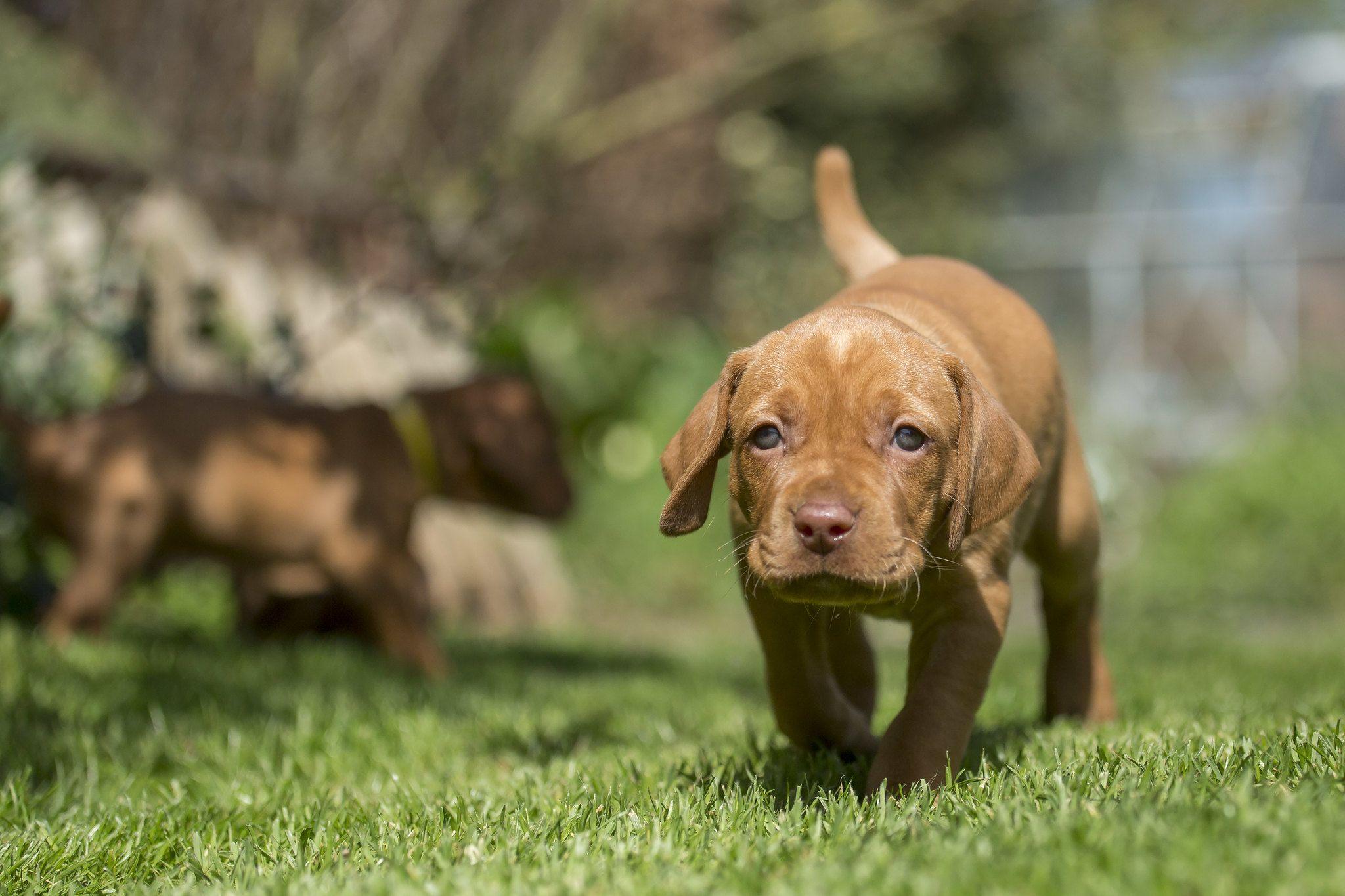 Выжла щенок бежит
