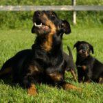 Ягдтерьер мама и щенок