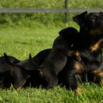 Ягдтерьер мама и щенки