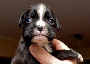 Немецкий боксёр щенок