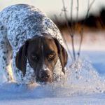 Пойнтер в снегу
