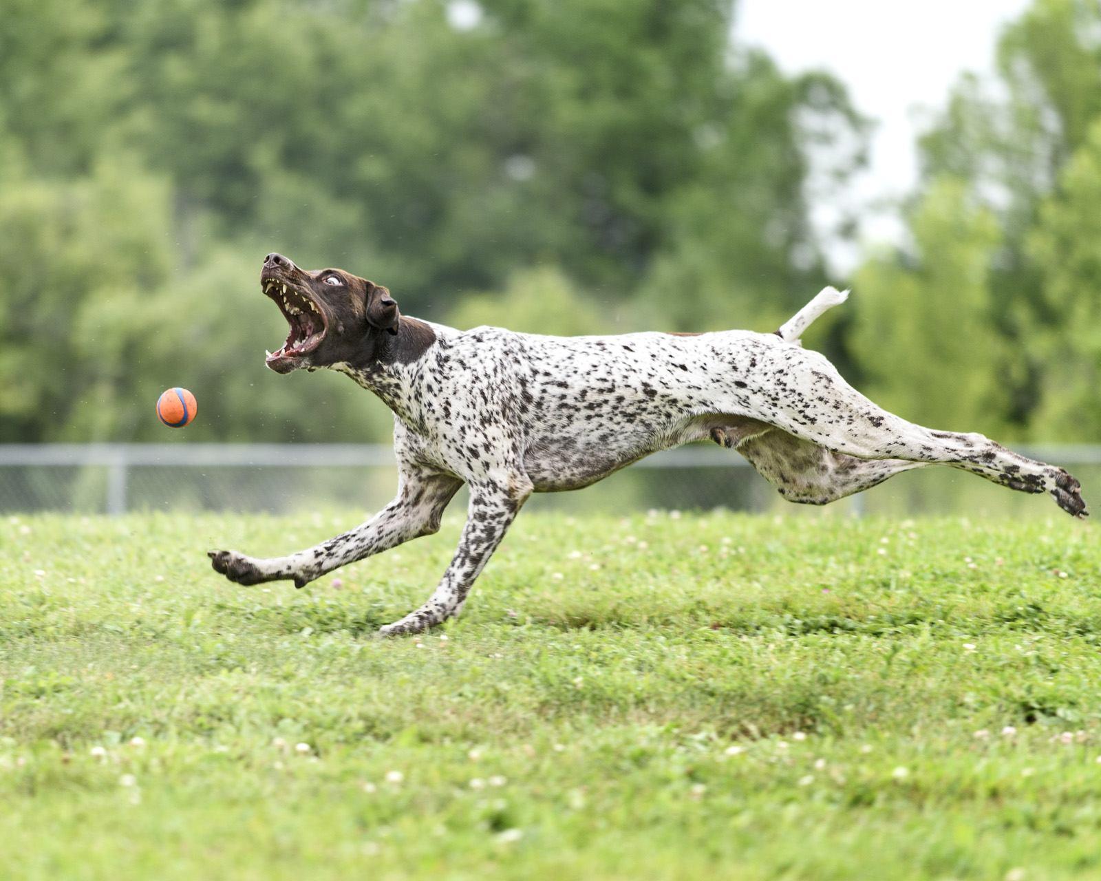 Пойнтер играет с мячом
