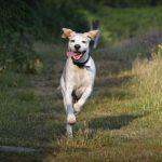Пойнтер бежит в поле
