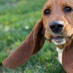 Бассет хаунд длинные уши