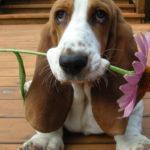 Бассет хаунд с цветком